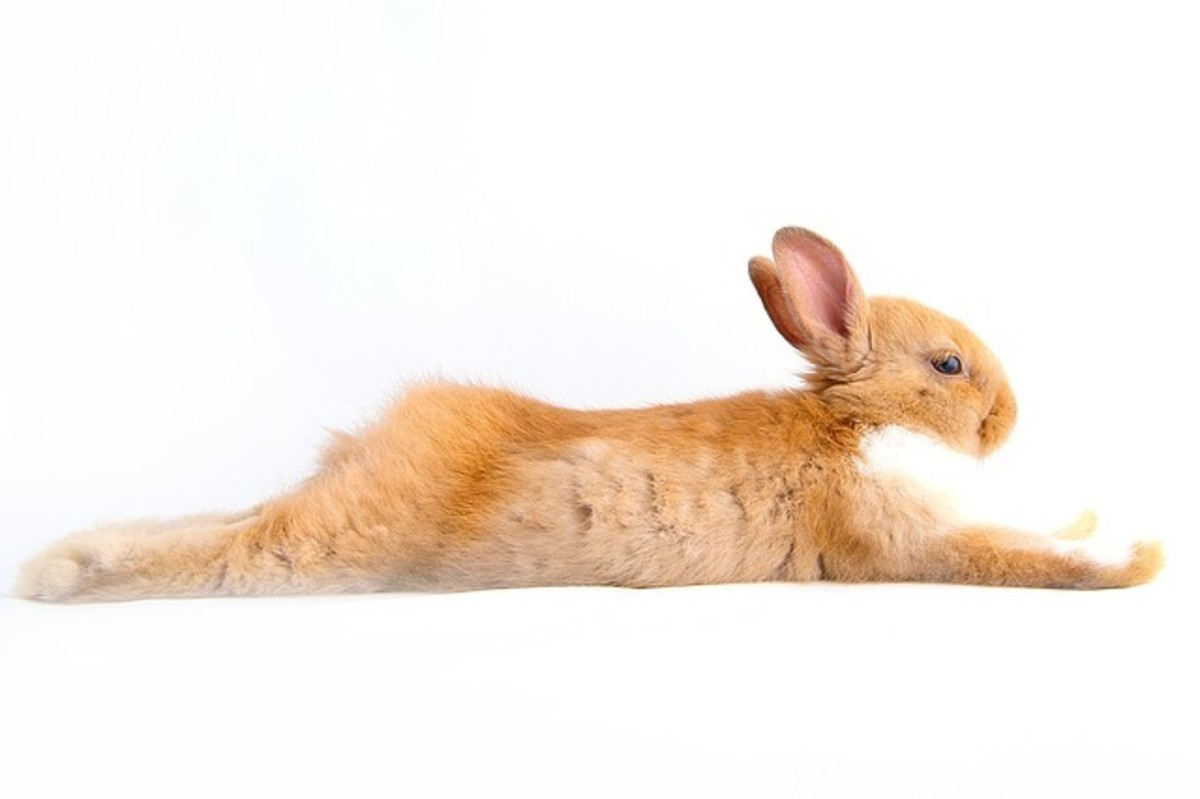If you rabbit is pretty chill, that can help reduce the instinct for dogs to chase.