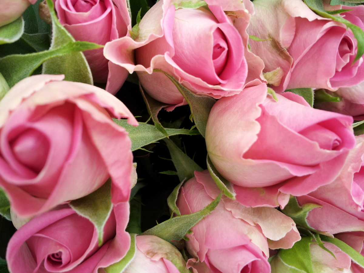 The Beautiful Hidden Meaning of Flowers: Pink Roses