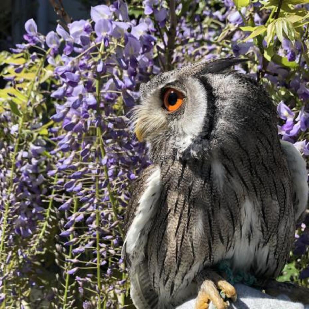 A pet white faced owl (Ptilopsis leucotis)