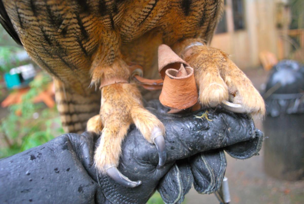 The formidable talons of a Eurasian eagle owl.