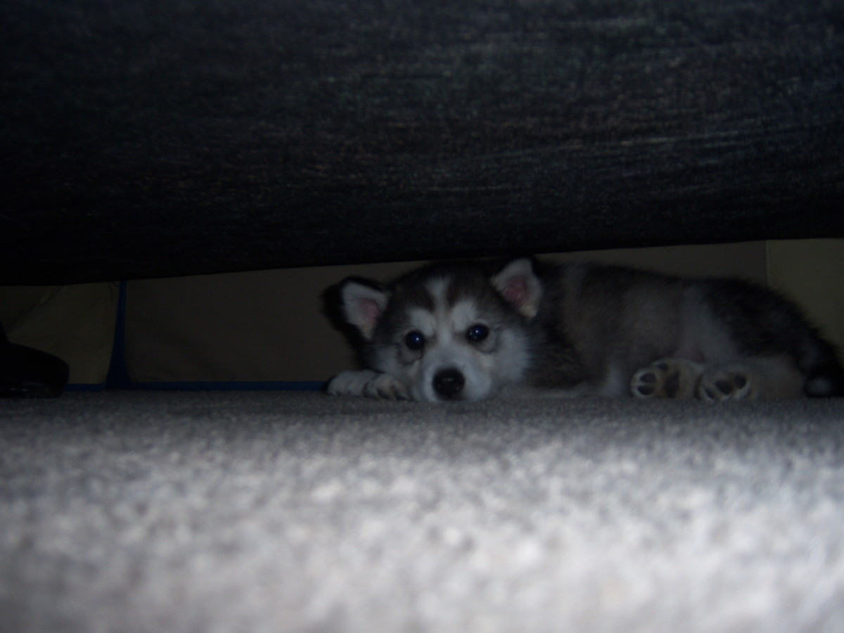 Zoe as a pup just waking up from a nap under the couch.