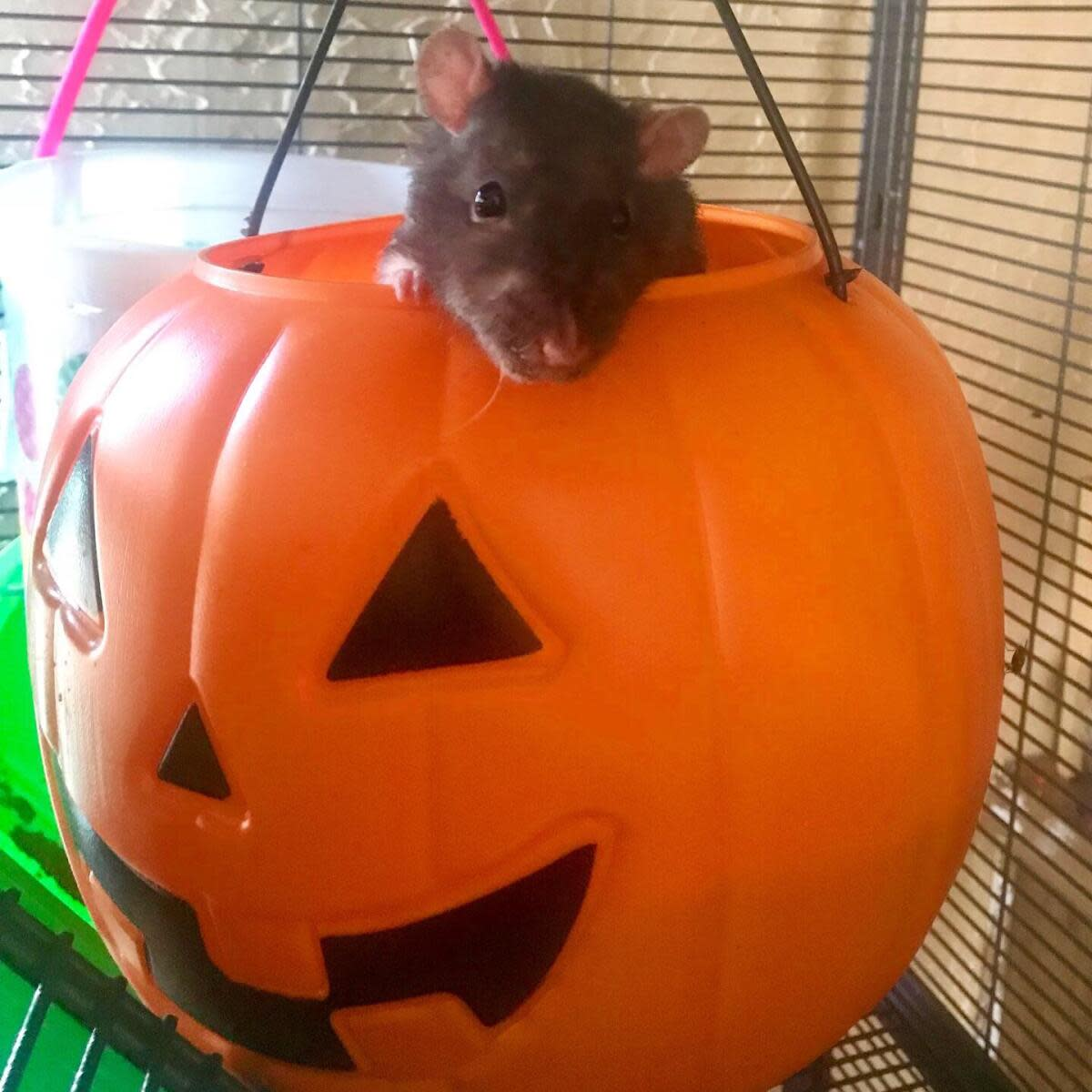 6-things-you-need-to-have-in-your-rat-cage