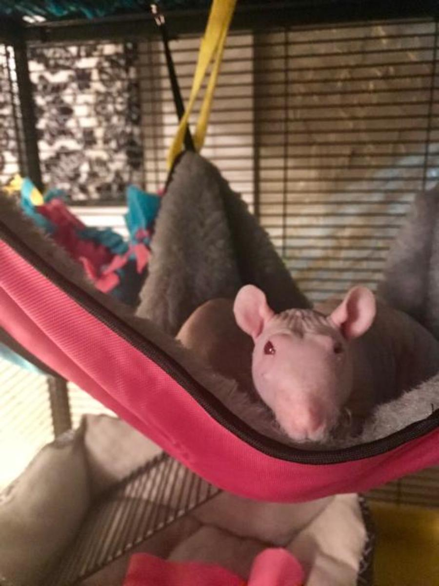 2 of my rats cuddling in a hammock.