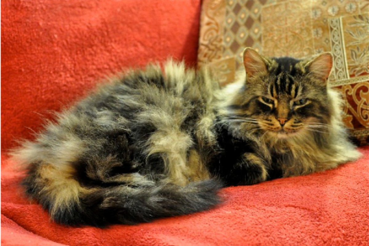 cat-breeds-that-are-hypoallergenic