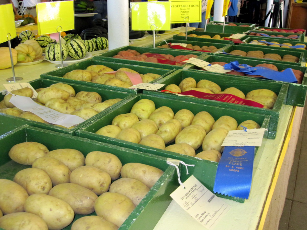Prize-winning potatoes on display at the Iowa State Fair