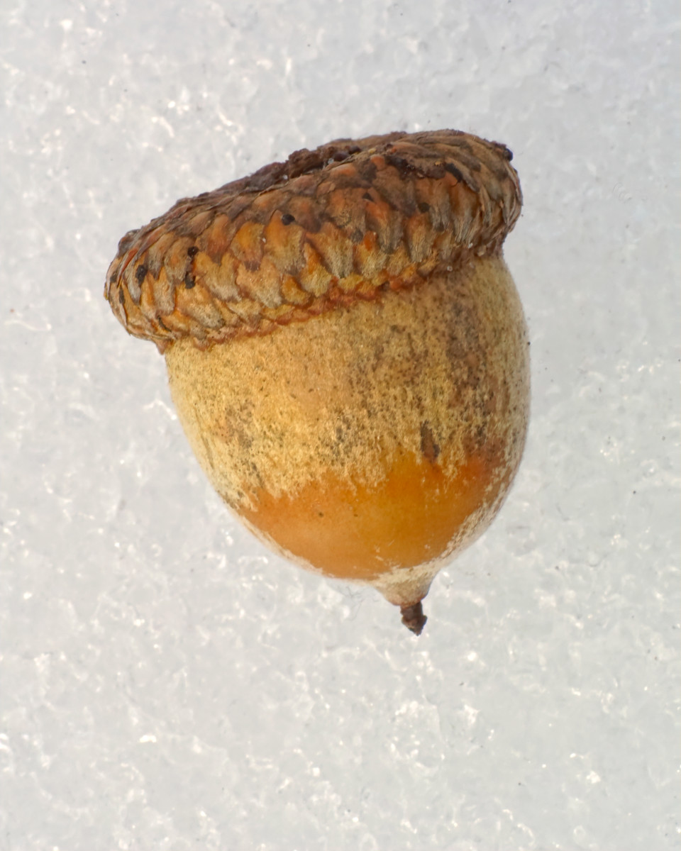 Northern Red Oak Seed Fruit (Acorn)
