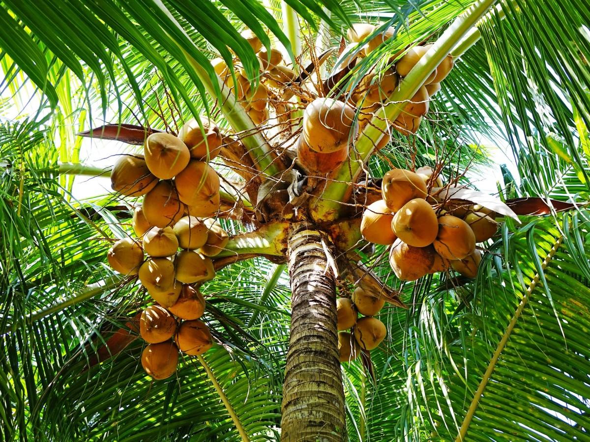 A coconut palm tree