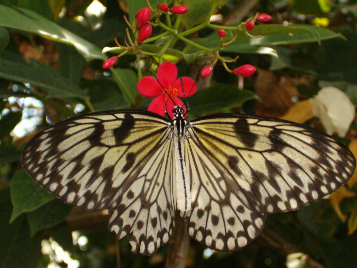 The Beautiful Paper Kite, or Large Wood Nymph enjoying nectar from a flower.