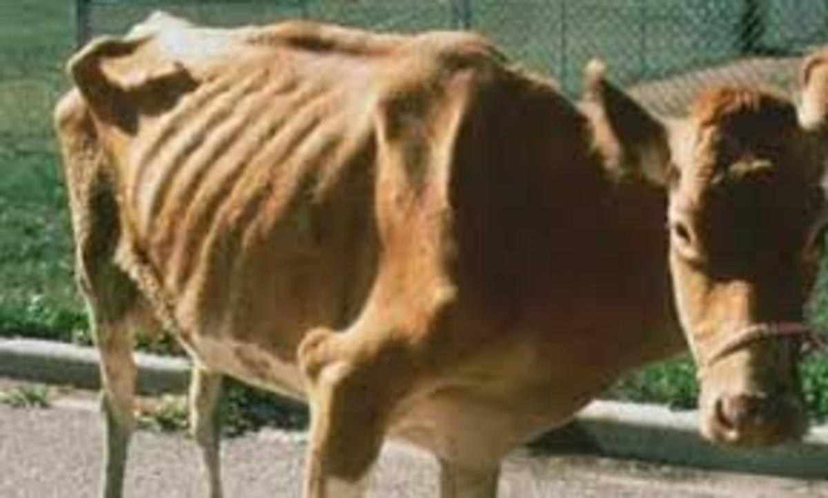 A cow suffering from paratuberculosis