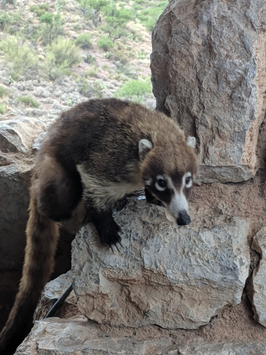 A White nosed Coatimundi (Nasua narica) looking toward tourists in Tucson's Colossal Cave Mountain Park