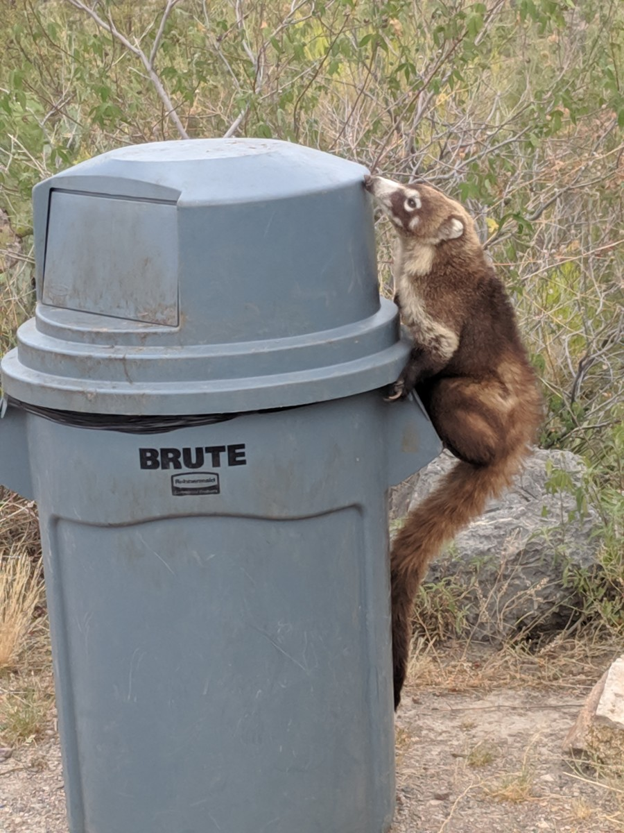 The Coati probably had previous experience as he knew the best way to climb up and where to enter the trashcan