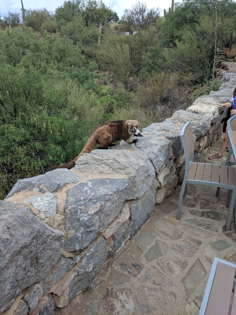 Coati climbing over wall and looking for tourists with food on Visitor Center Patio