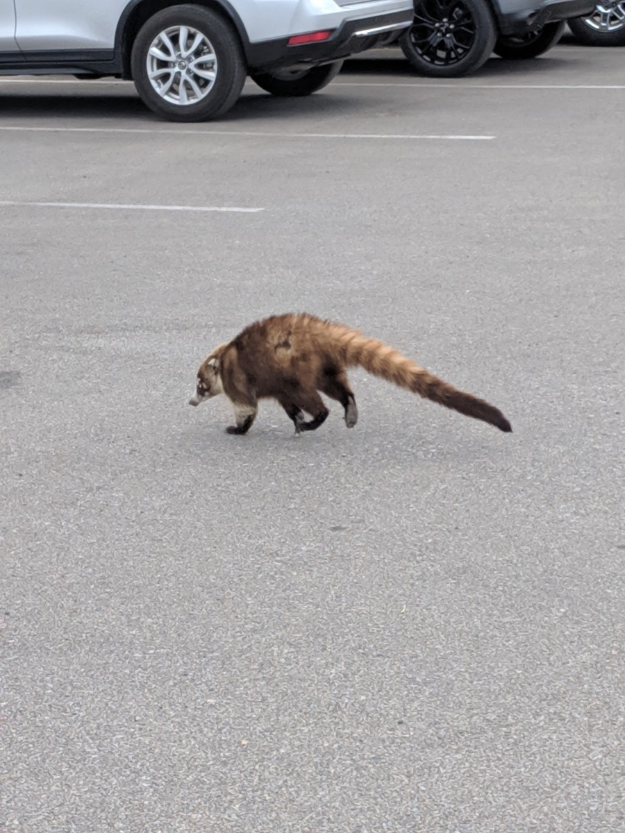 This Coati, knowing (probably from past success) that the trashcan will probably contain food, heads across parking lot toward the trashcan