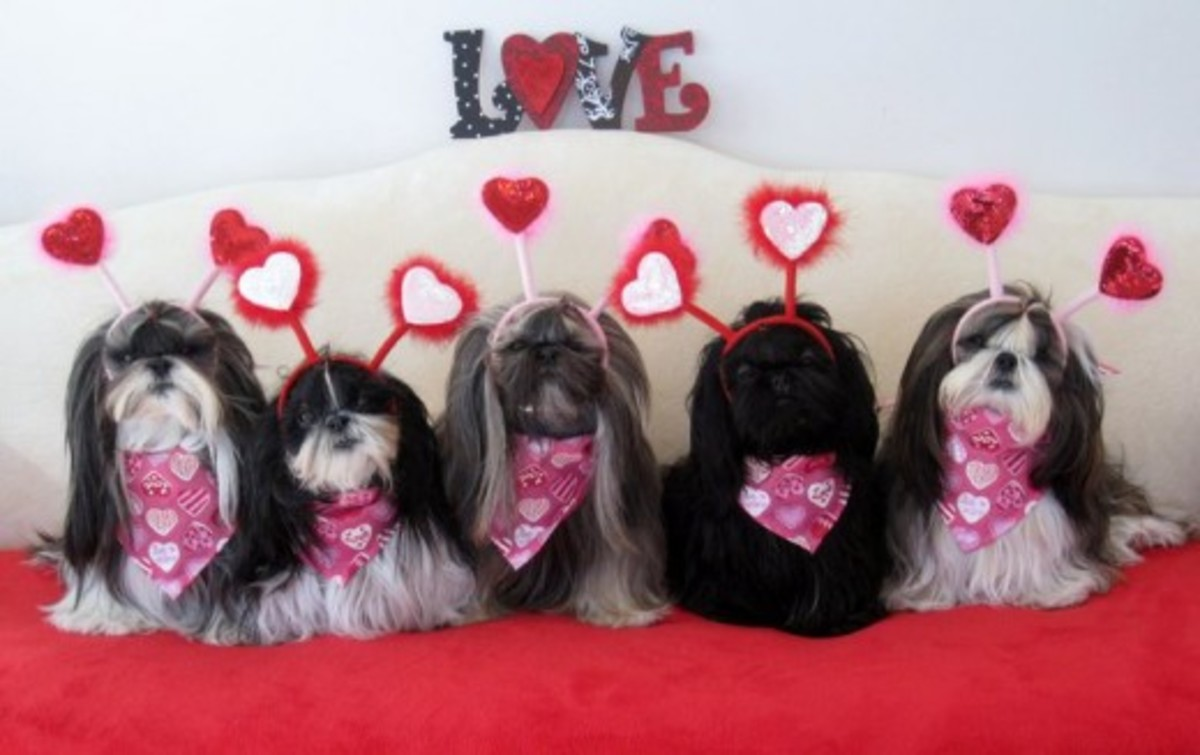 Shih Tzu doggies dressed for Valentine's Day