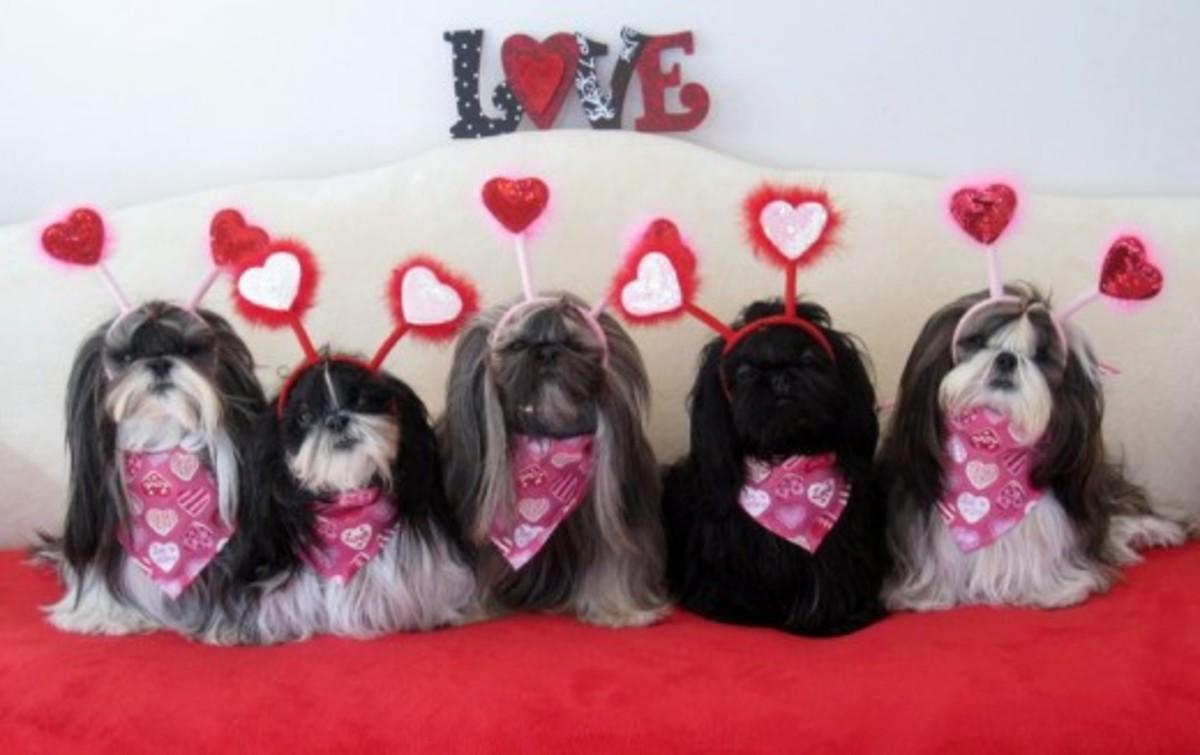 Shih Tzu doggies dressed for Valentine's Day