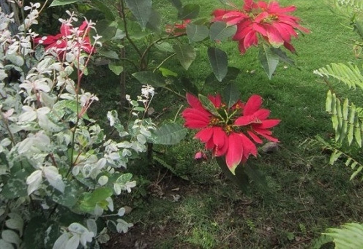 The snowbush next to the poinsettia looks like winter without the cold.