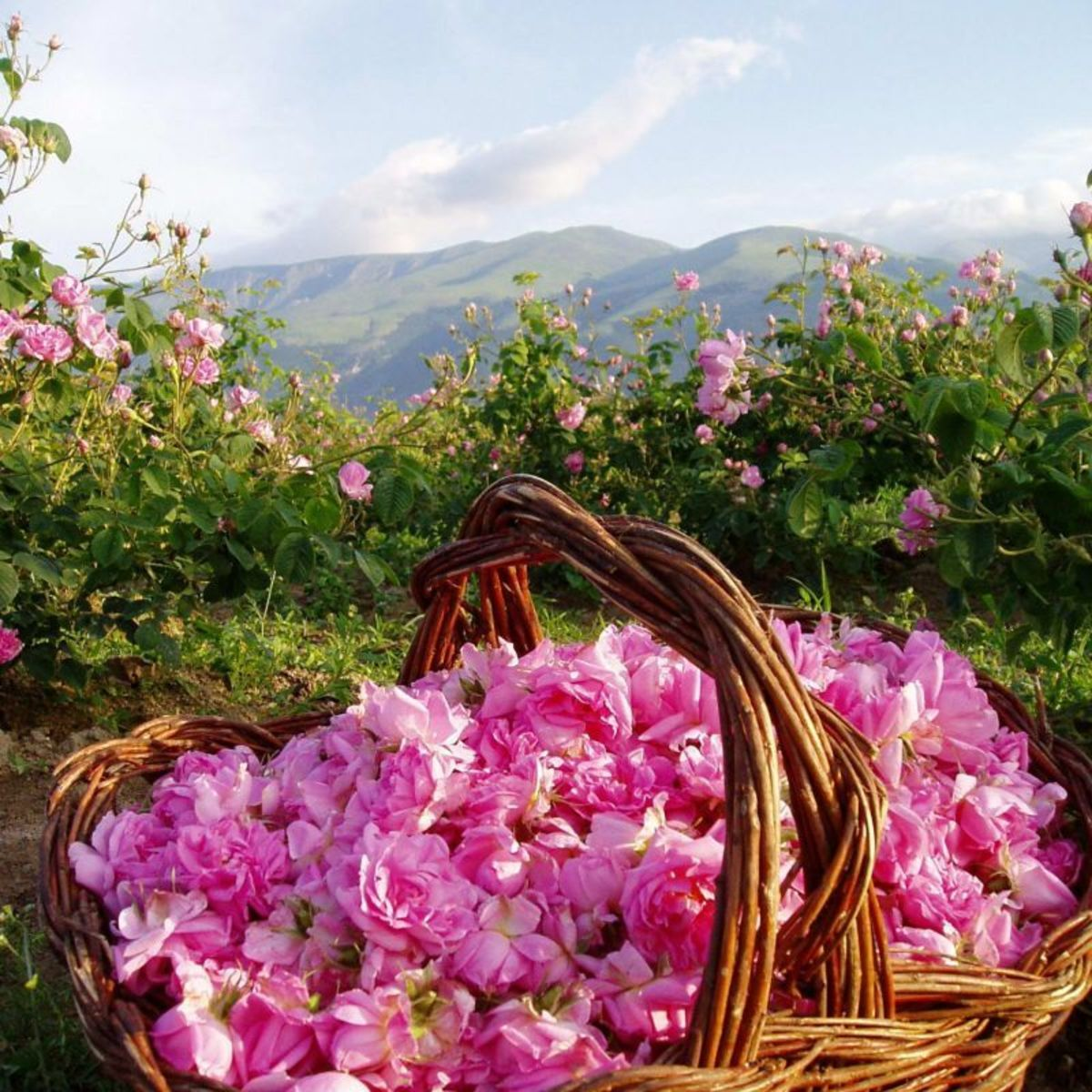 The Valley of Roses in May