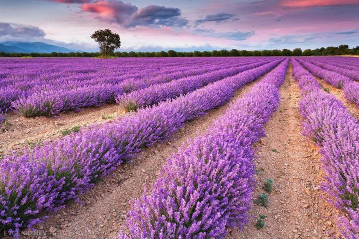 Lavender fields near Varna