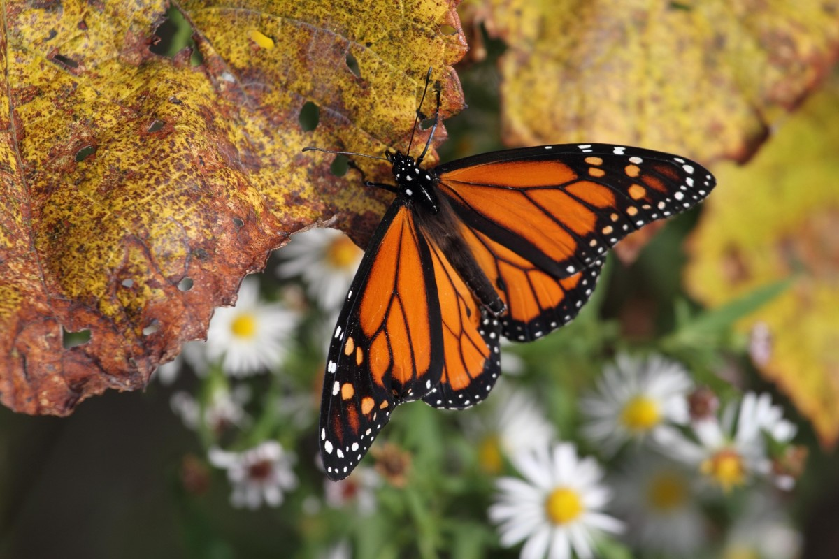 Please help take care of monarchs!