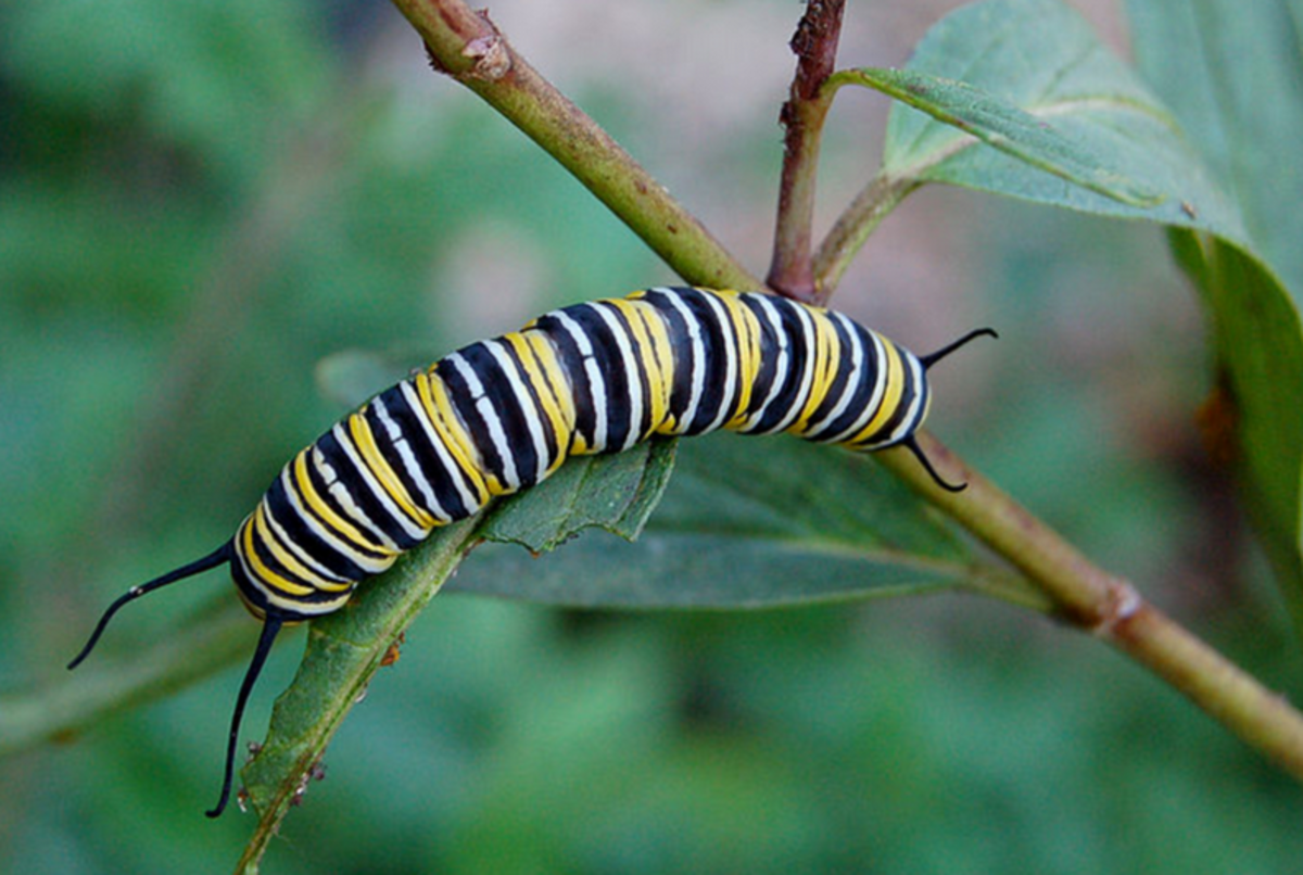 Monarch caterpillars have a striking appearance but are not as easily recognized as they are in their butterfly form.