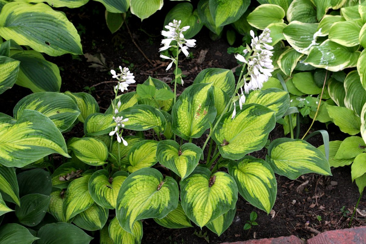 How to Create an Easy, Colorful Shade Garden - Hostas, Impatiens and Periwinkle