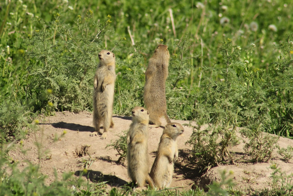 Richardson Ground Squirrels