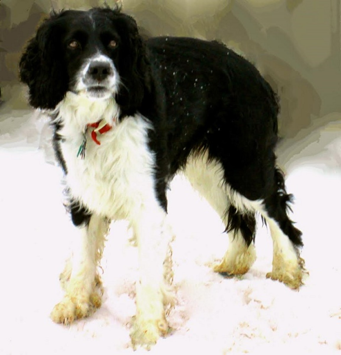 Black and White Spring Spaniel with a winter coat.