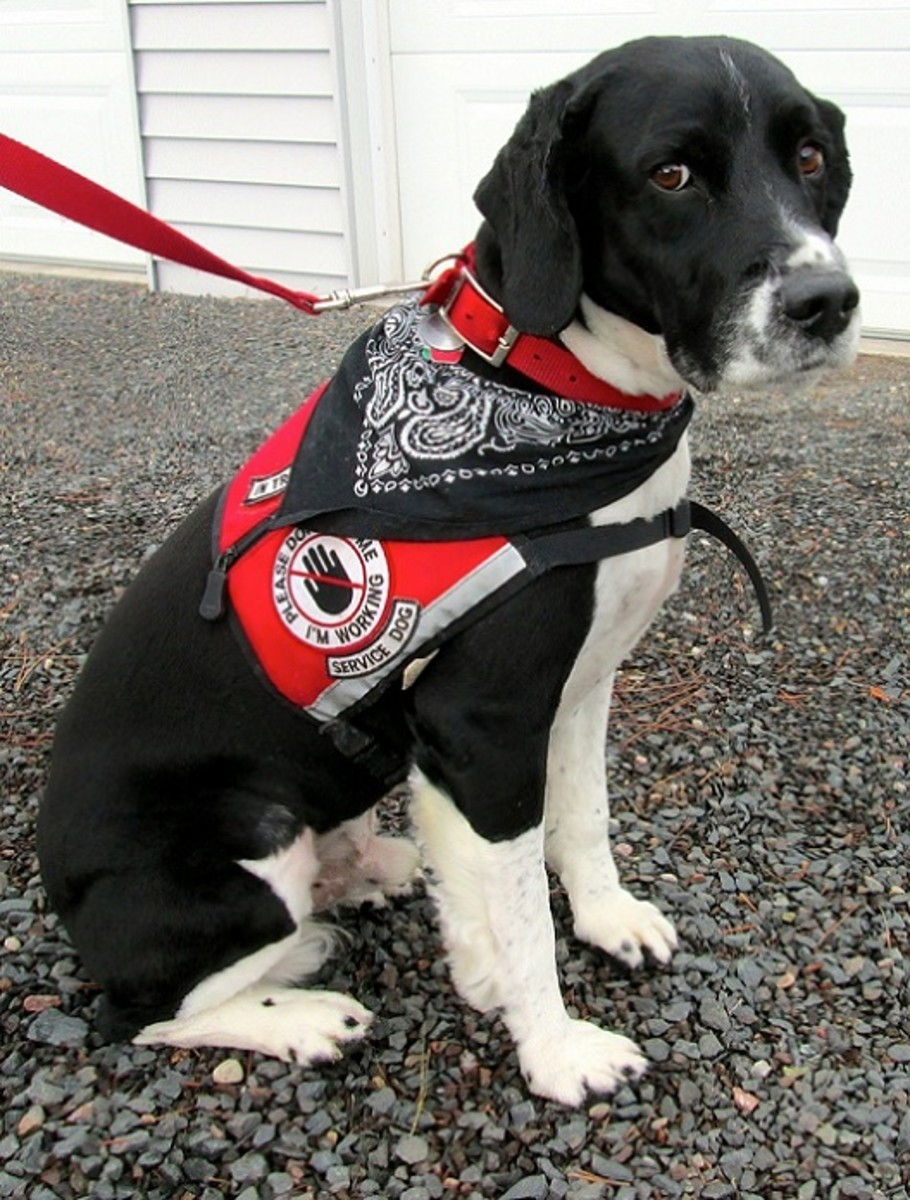 Please Do Not Make Your Dogs Pretend To Be Service Dogs