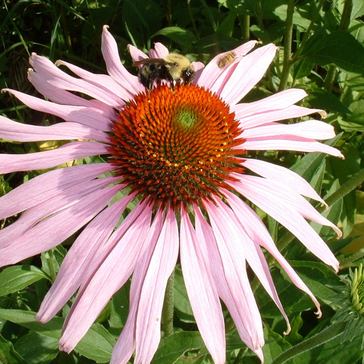 Purple Coneflower is a wide-ranging native plant that is particularly good for bees and butterflies.