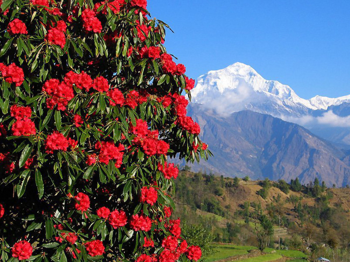 Rhododendron flower with Mt. Dhaulagiri on background.