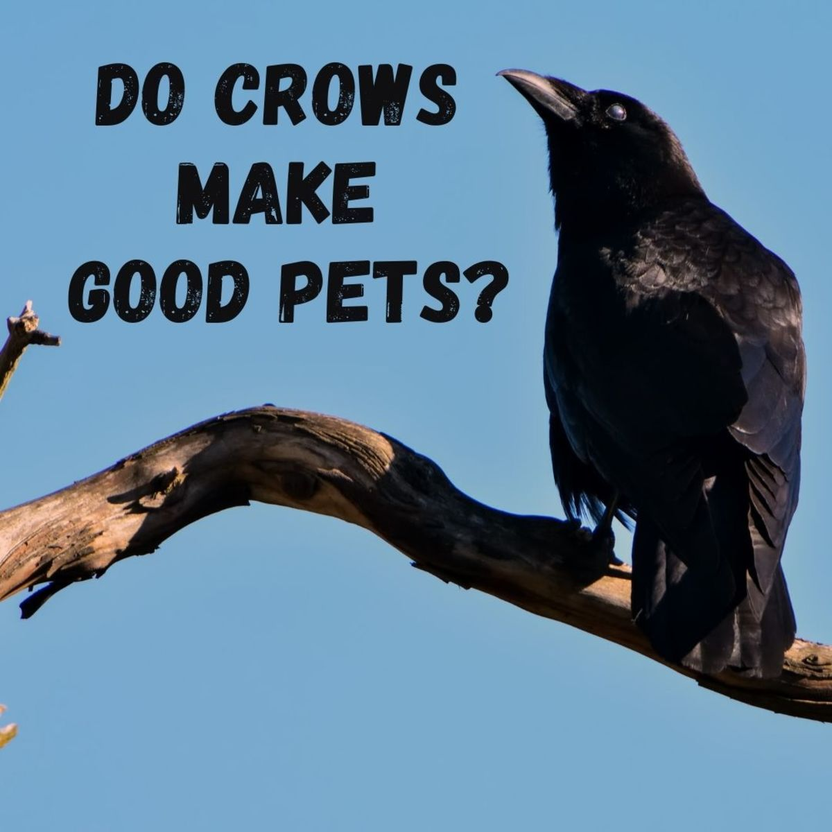 Crows as Pets: Is It Legal to Have a Pet Crow?