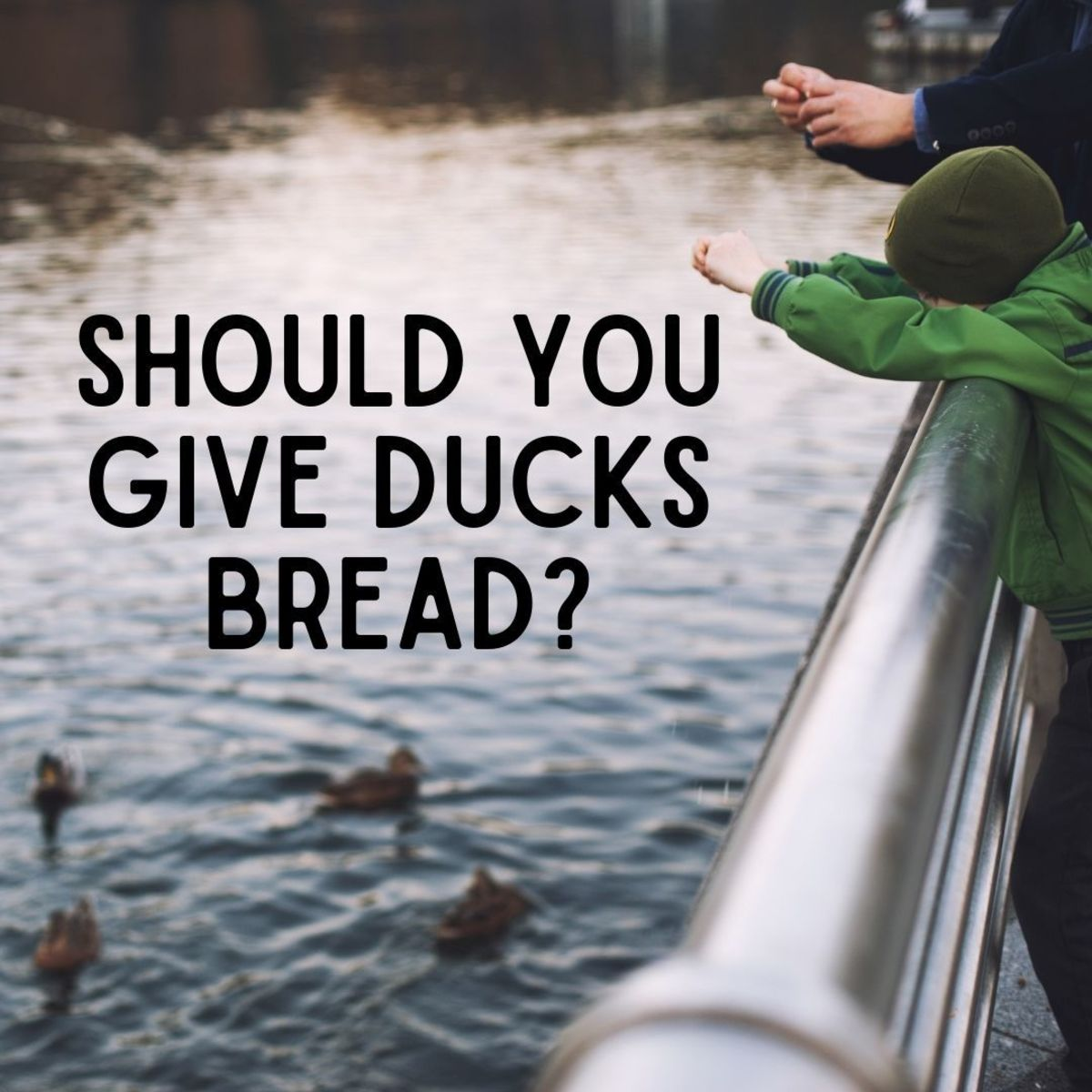 Is it ok to feed the ducks?
