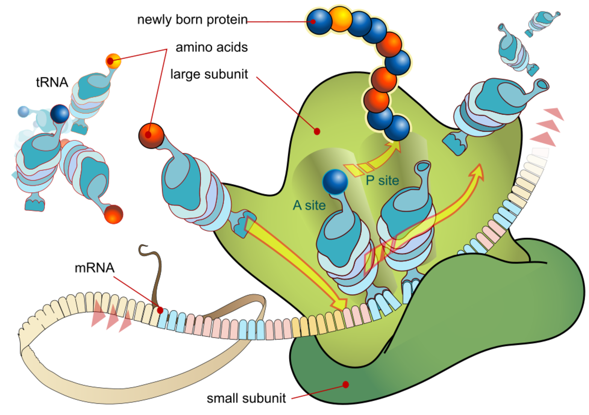 Amino acids being processed through a ribosome to make proteins!