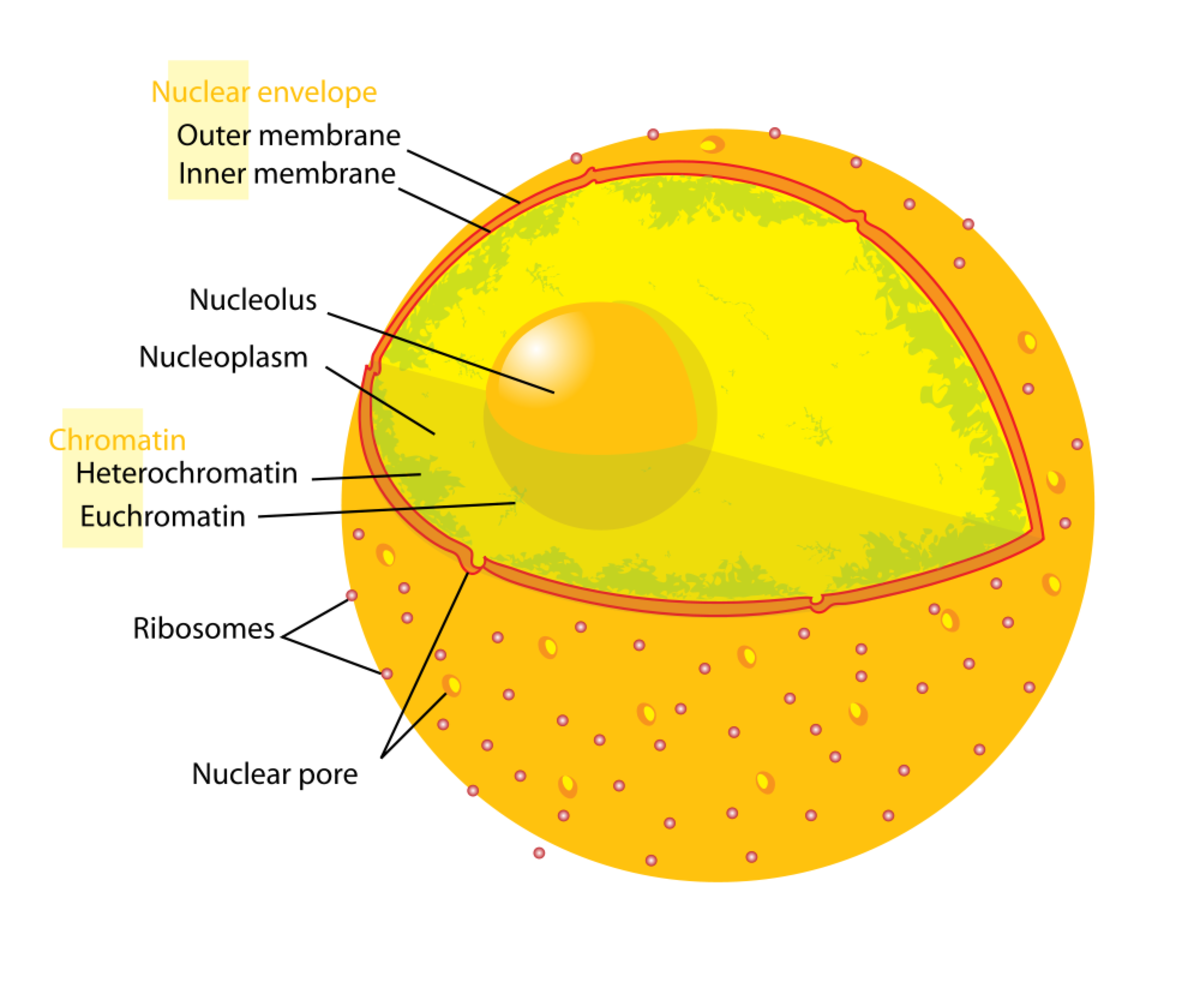 The nucleus is the most visible and largest part of the cell.