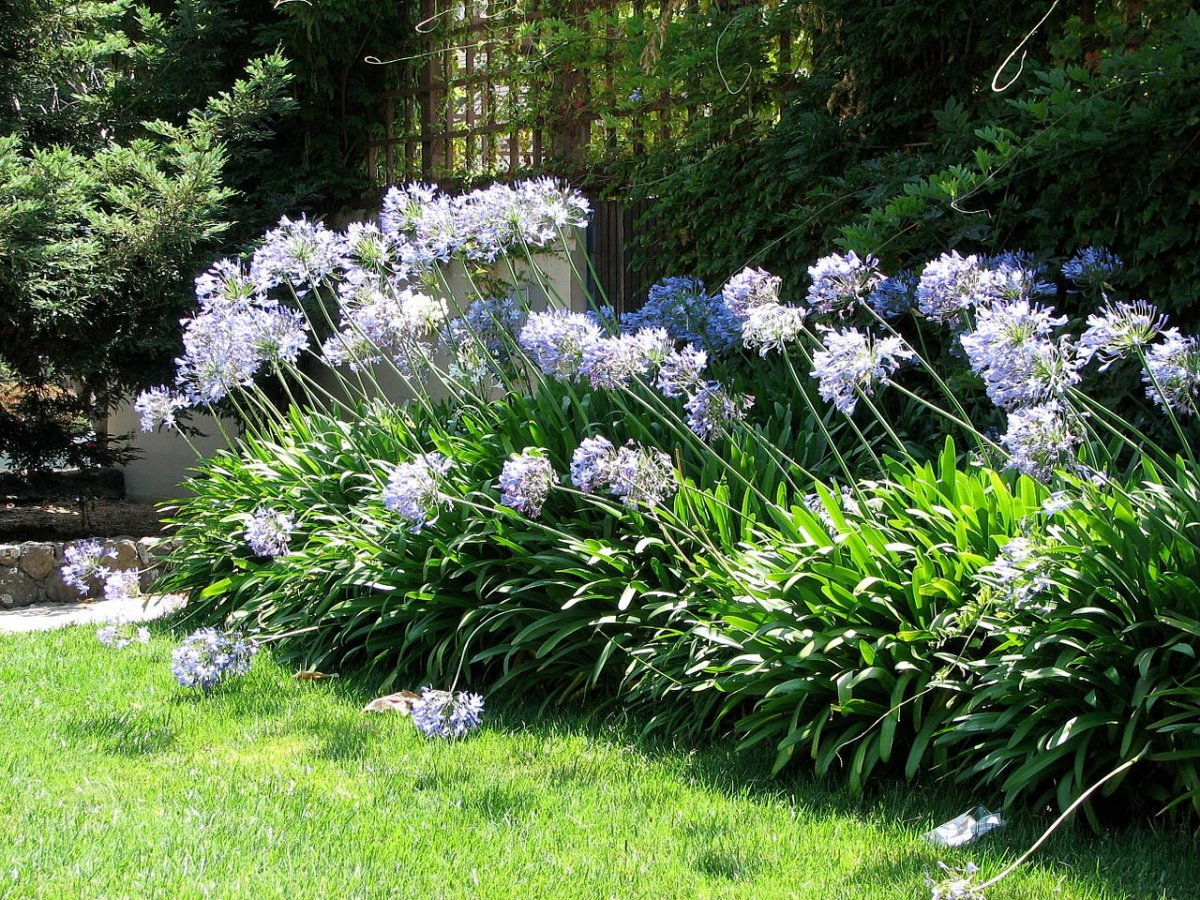 How to Grow Agapanthus (Lily of the Nile) Indoors or Outdoors