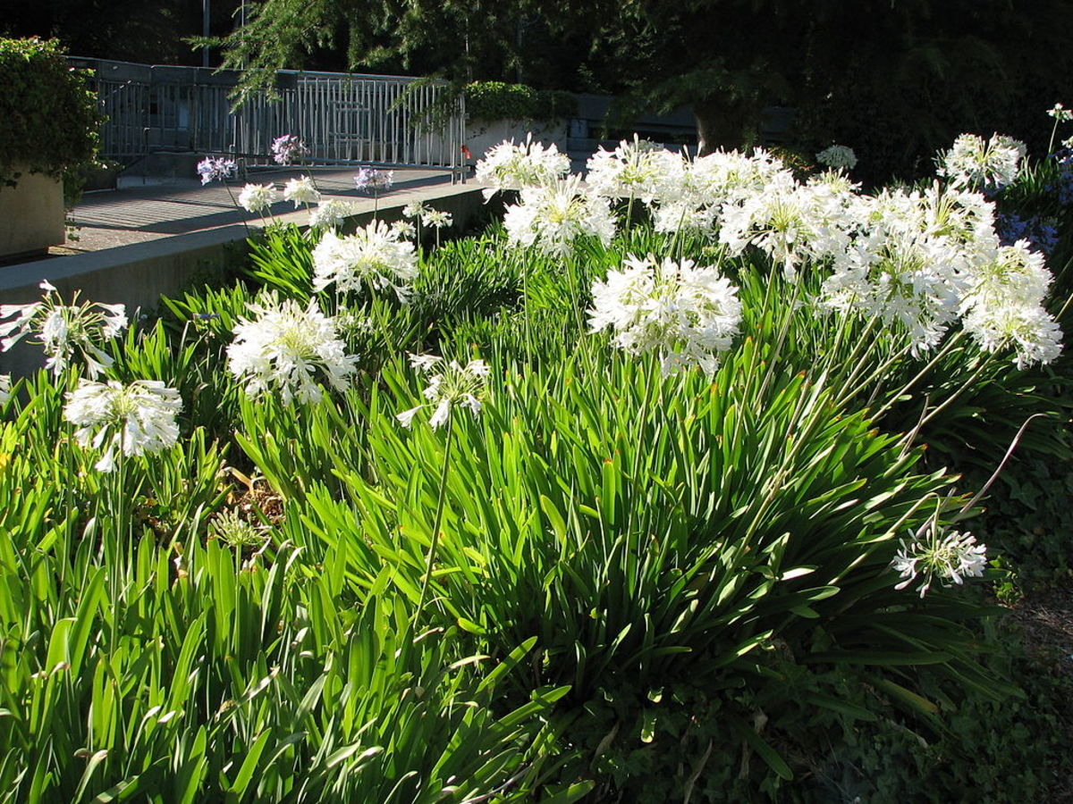 Newer cultivars have been bred to have white flowers instead of the usual blue.