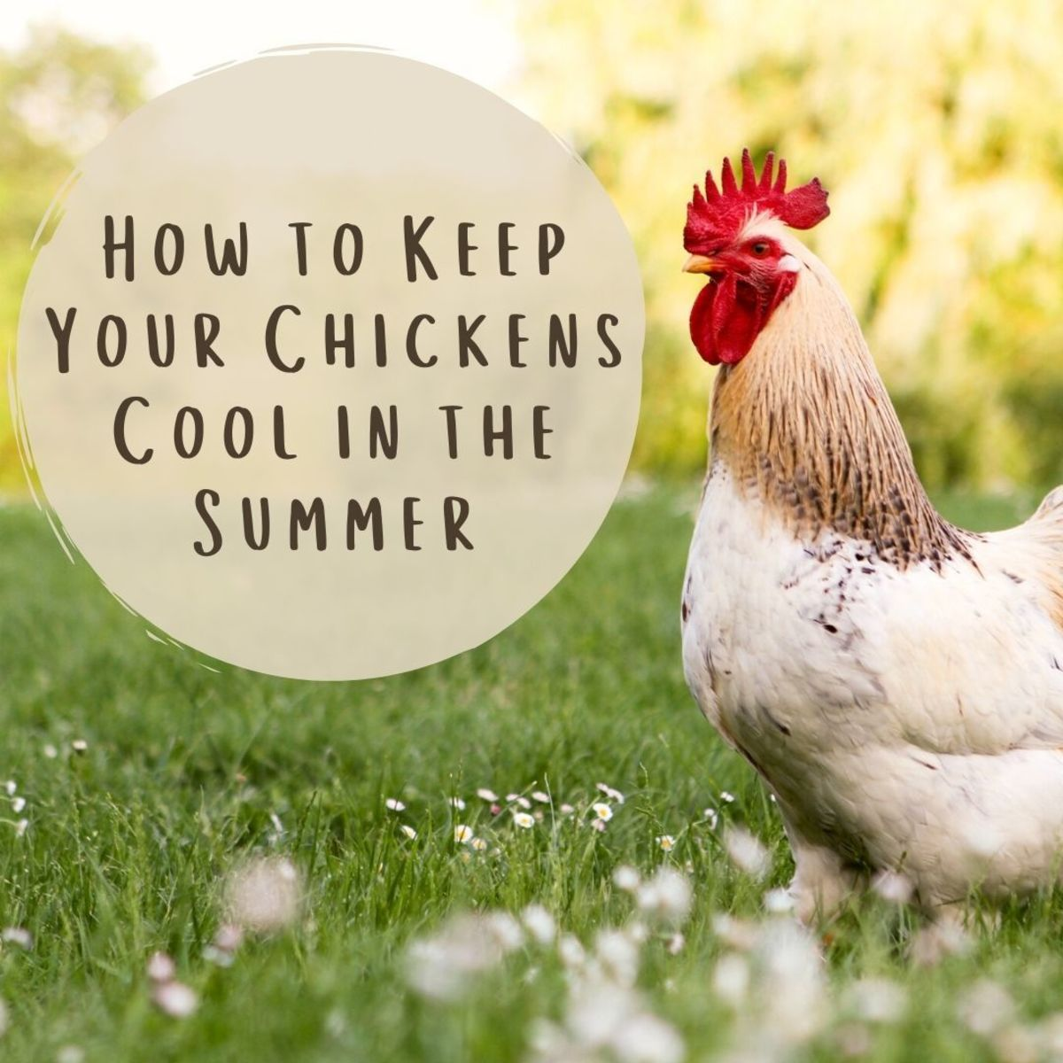 How to keep your chickens cool in the hot summer weather