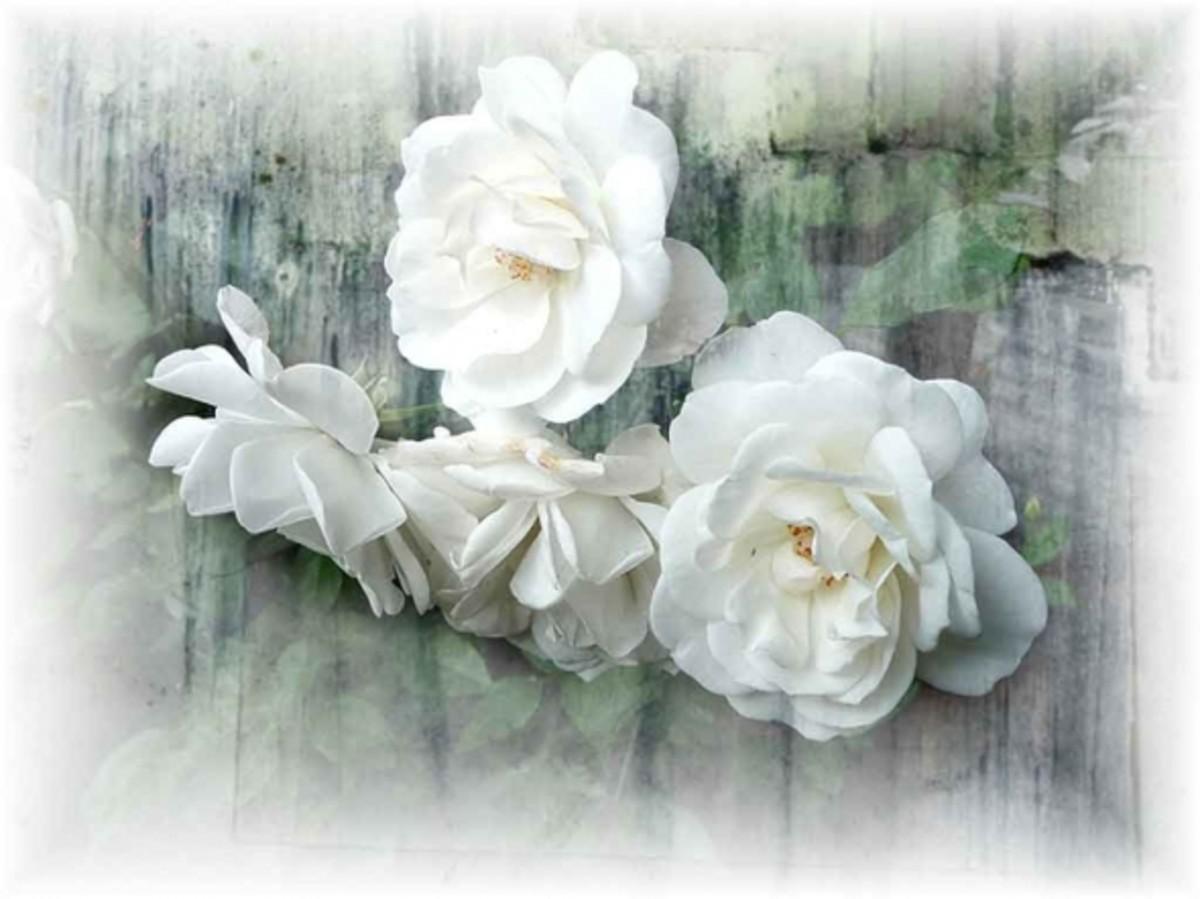 Free White Rose Wallpaper