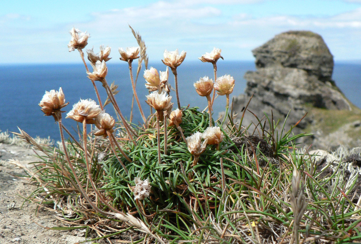 Thrift growing along the Cliffs of Moher, Ireland