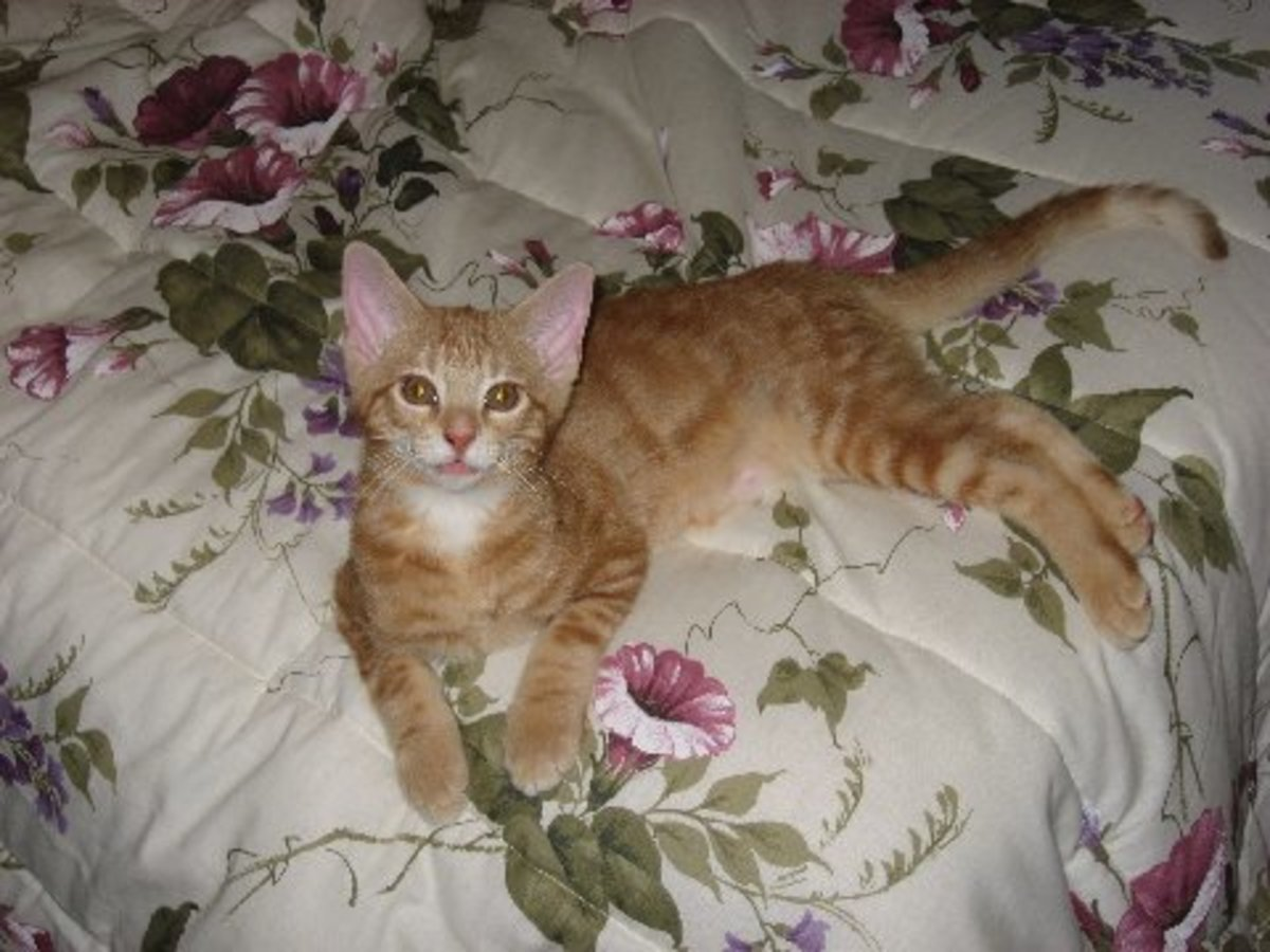 Chip as a kitten, before I adopted him. He still has giant ears.