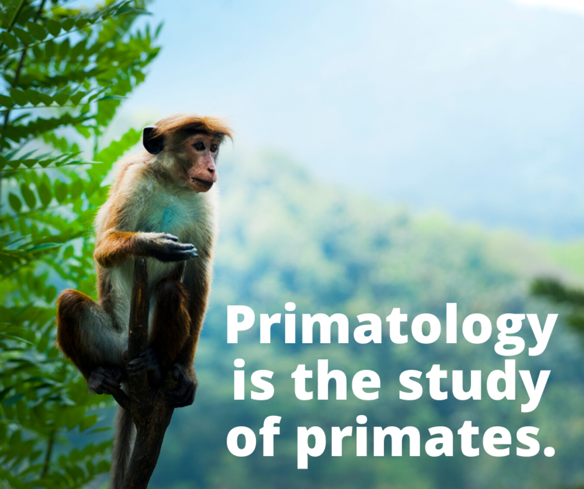 Primatology is the study of primates.