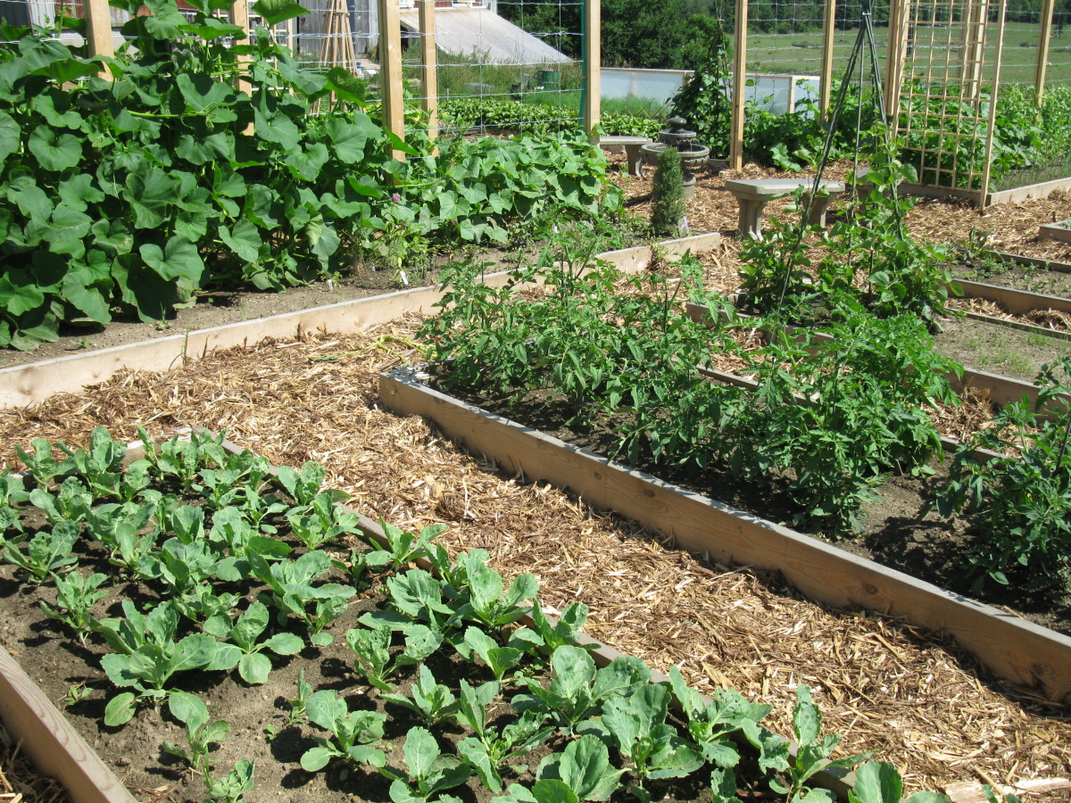 Raised Bed Veggie Garden Reduces the Work Needed for Fresh Vegetables