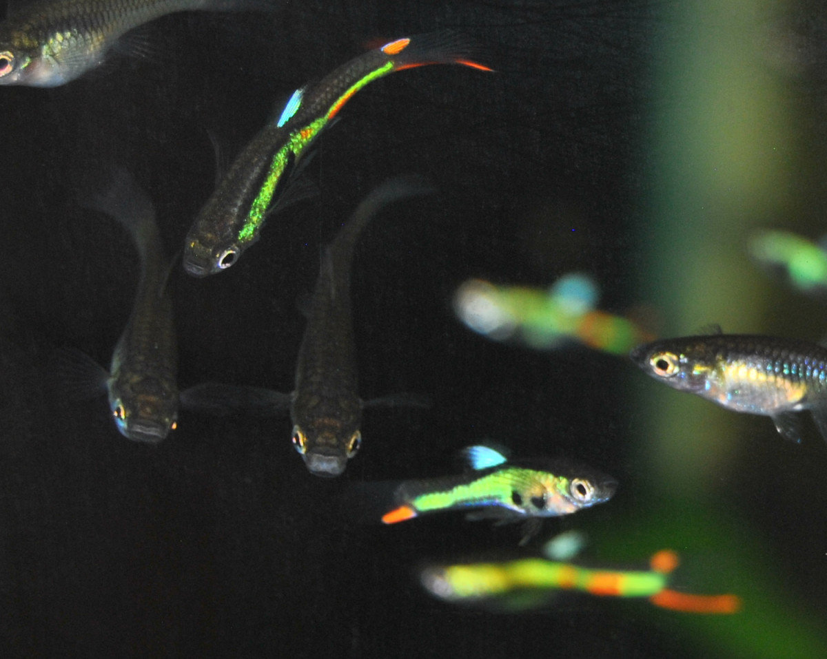 Lime Green Endlers from the Cumana region of Venezuela.