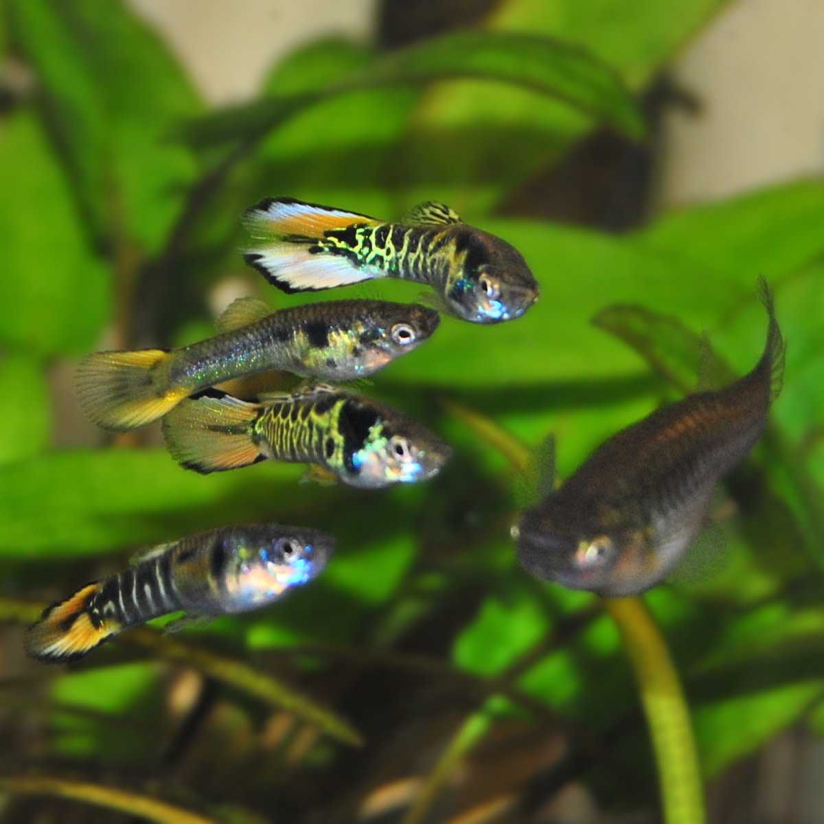 Yellow Tiger Endlers.  One of the first accidental hybrid Endlers ever produced.