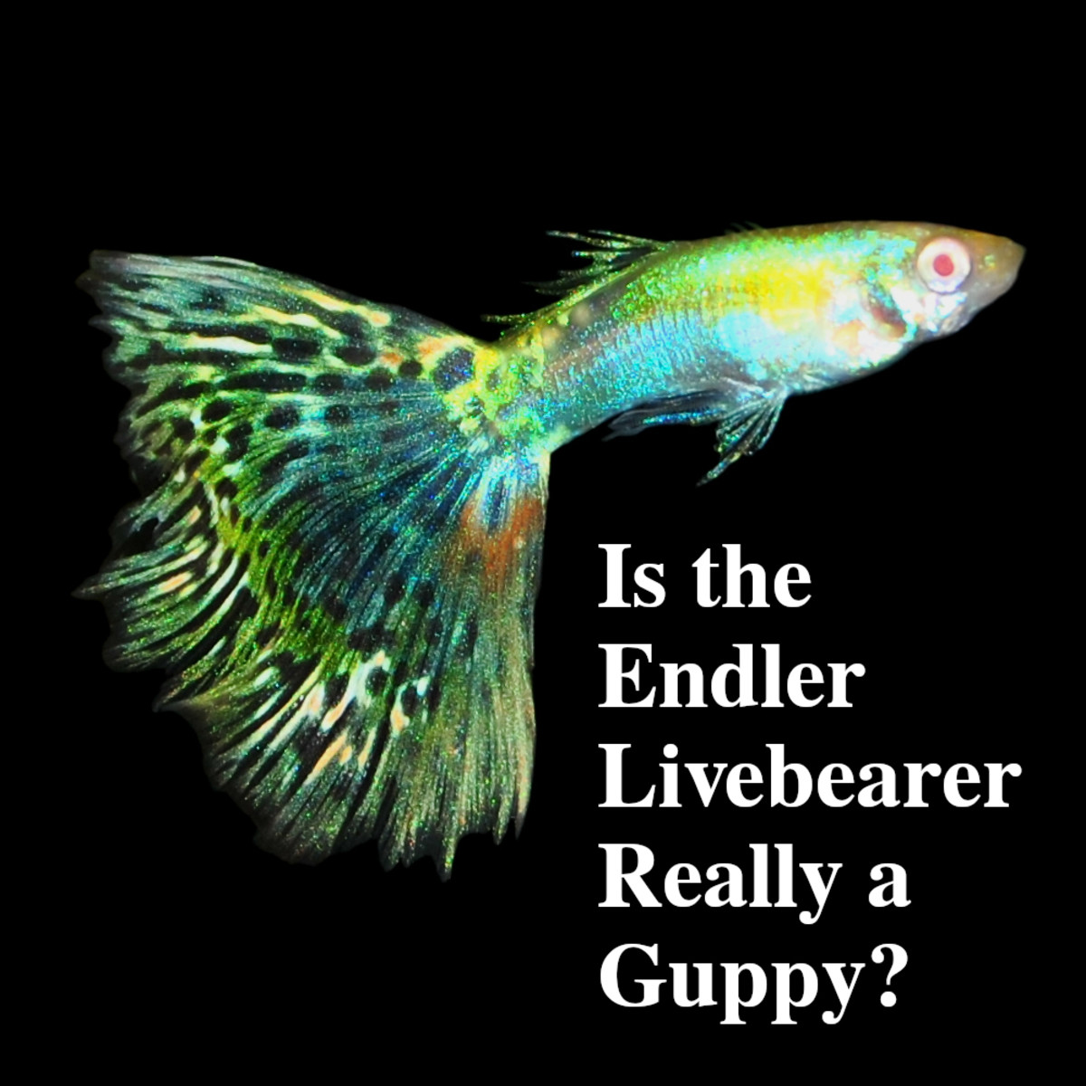 Is the Endlers Livebearer Really a Guppy?