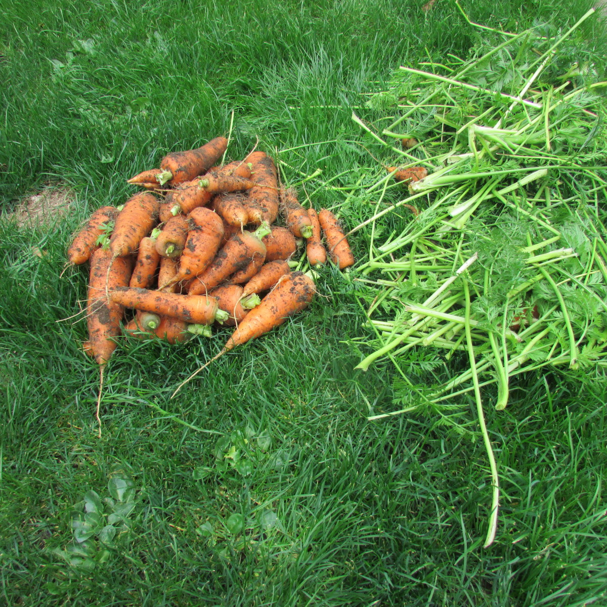 Carrots harvested from containers in my small garden.