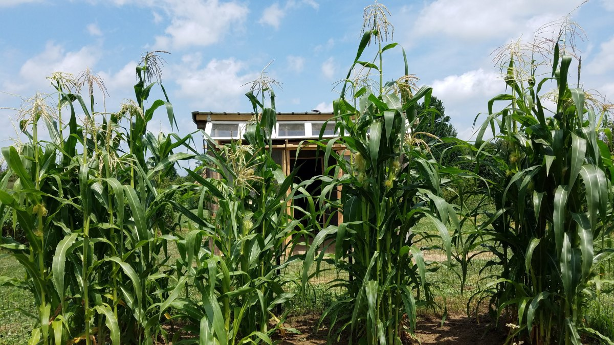 Glass Gem corn plants whisper in the breeze.