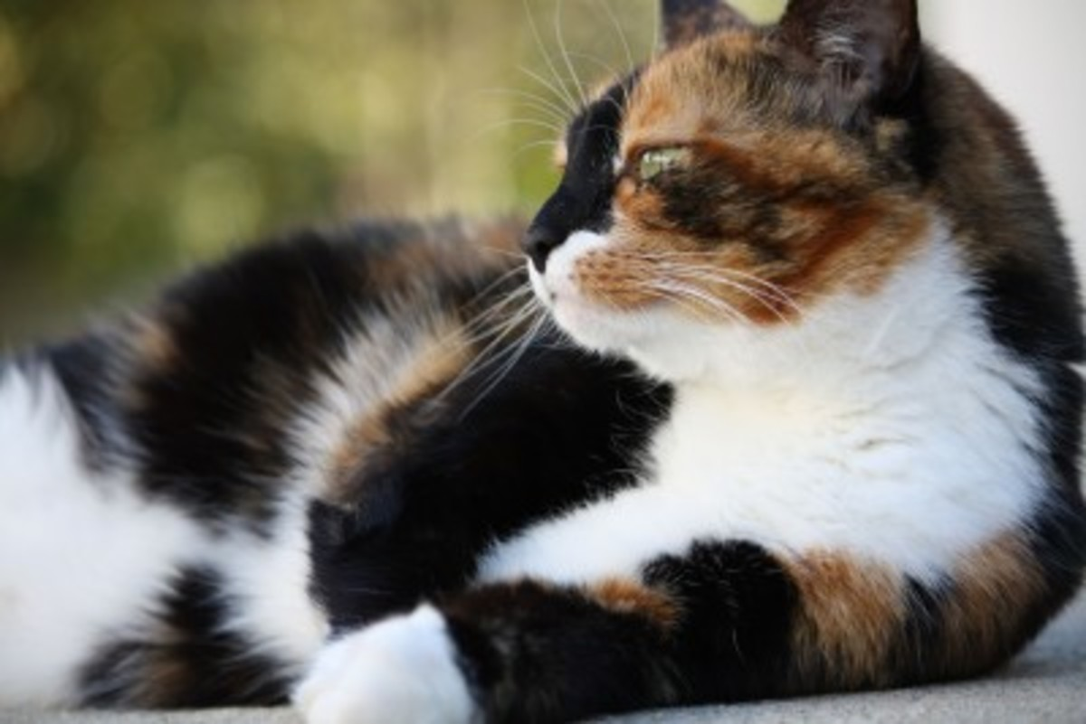 Only ONE in every 3000 Calico cats are males.