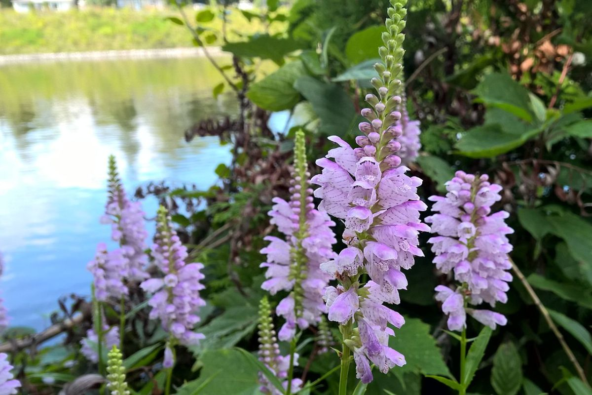 How to Grow Obedient Plant, a Native Plant