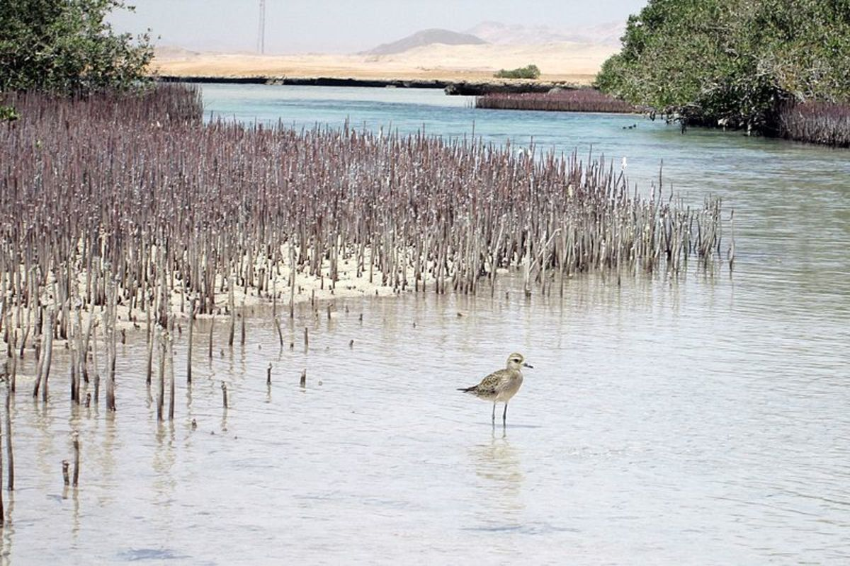 A water bird at the mangrove channel in Ras Mohamed National Park, South Sinai, Egypt.